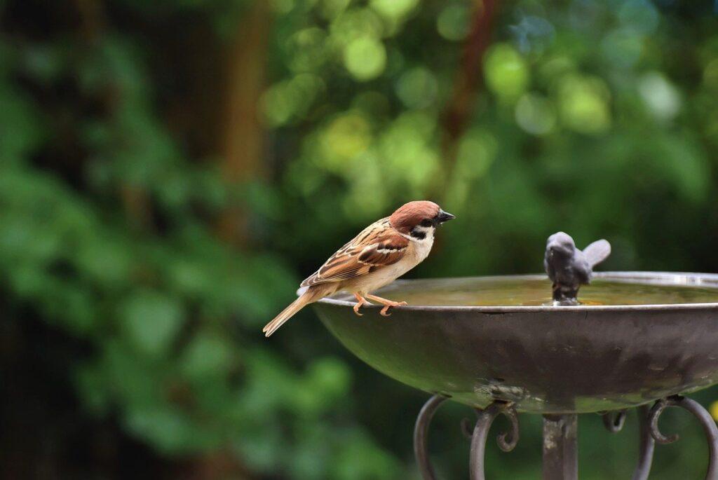 sparrow, bird, bird bath-6403847.jpg